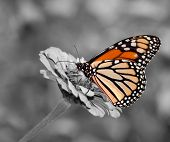 stock photo of zinnias  - Female Monarch butterfly feeding on Zinnia flower - JPG