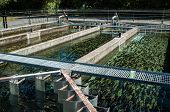 stock photo of fish pond  - Many trout fish in these trout farming ponds - JPG