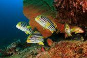 pic of bigeye  - Oriental Sweetlips fish and Crescent - JPG