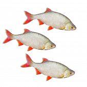 foto of freshwater fish  - The Common Rudd  - JPG