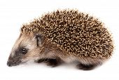 stock photo of mammal  - hedgehog isolated on white background - JPG