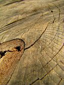 Detail Of A Dryed Cut Of A Trunk