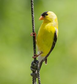 picture of goldfinches  - Closeup of a Male American Goldfinch  - JPG