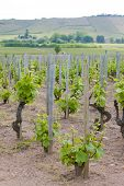 vineyards of Beaujolais, Burgundy, France