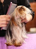 Canine hairdresser grooming Yorkshire dog in salon poster
