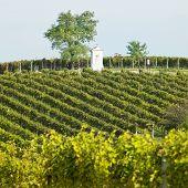 vineyard, Southern Moravia, Czech Republic