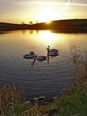 Swans In The Sunset