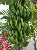 Bananas On Tree  In The Dominican Republic