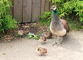 foto of peahen  - a peahen and four small brown chicks - JPG