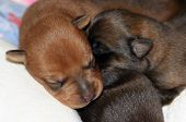 image of snuggle  - two newborn mixed breed puppies snuggled together - JPG