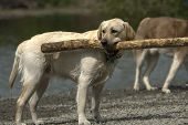 Yellow Lab With Stick poster