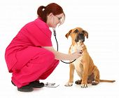 Beautiful 19 year old teen vet student examining boxer puppy over white background.