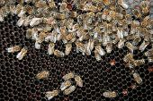 picture of bee keeping  - Colony of bees - JPG