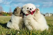 Little Puppies. Pomeranian Puppies Playing Outdoor Pomeranian Spitz-dog poster