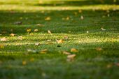 Fallen Yellow Leaves On Trimmed Green Grass With Beautiful Tree Shadows-background Photo (late Summe poster
