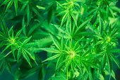 Green Background. Marijuana Leaves. Marihuana Plants Close Up. Growing Indoor Cultivation. Cannabis  poster