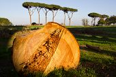 Ancient Pine Tree Cut Down In The Aqueducts Park, Rome (italy).