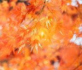 Red Maple Leaves/ Branches In Autumn Season Isolated On White Background Red Maple Tree With Golden  poster