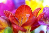 Makro-Hintergrund Krokus-Blüten mit Wassertropfen