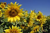 Sunflowers in a field under a bright blue sky