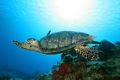 Hawksbill Turtle (Eretmochelys imbriocota)
