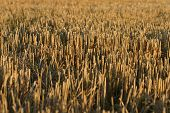 stock photo of gleaning  - Detail of a stubble Field in the sun - JPG