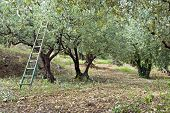 Pruning season in an olive orchard in the Vaucluse, South of France