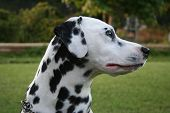 Side profile of a dalmation