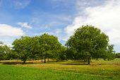 Wallnut trees in French landscape in the Perigord