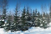 Spruce Trees In Winter Forest, Rural Landscape Of Finland poster