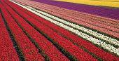 tulip field 31