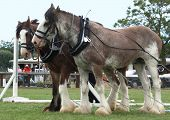 stock photo of clydesdale  - Two Clydesdales in Harness - JPG