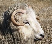 A white sheep with black striped horns