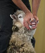 A animal handler showing the absence of top teeth in sheep