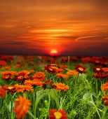 sunset flower field
