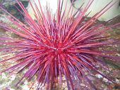 Red sea urchin,