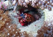 Mantis shrimp in burrow; Great Barrier Reef, Australia