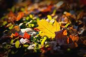 Fallen Yellow Leaf In Autumn Lies On Bright Grass And Orange Fallen Leaves. poster