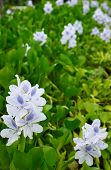 Water hyacinth (Eichhornia crassipes), a pretty flower but a pest of economic significance outside its native Brazil,