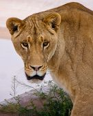 Closeup Of Lioness Head And Shoulders, Staring Directly At Camera