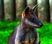 Wallaby Macropus Agilus Looking