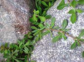 hojas verdes roca