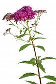 Meadowsweet (Spiraea japonica) flower