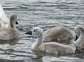 Young Cygnets And Water Back