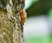 Zikade Exoskelett Haut nicaragua