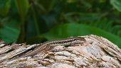 Iguana On A Rock In The Garden.