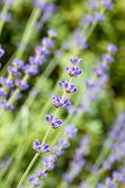 Lavender flowers (Lavandula angustifolia), shallow DOF
