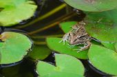 Bullfrog (rana Catesbeiana) On Lily Pad