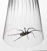 Caught Big Spider Under A Drinking Glass