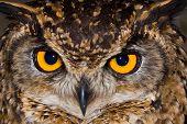 Cape Eagle Owl Close-Up